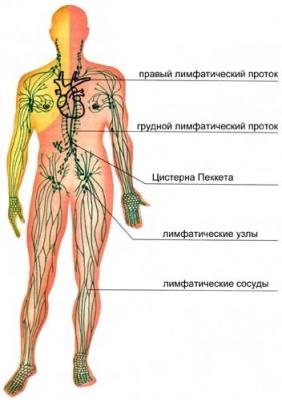 лимфатическая система, законы бессмертия